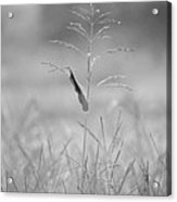 One Tall Blade Of Grass On A Foggy Morn - Bw Acrylic Print