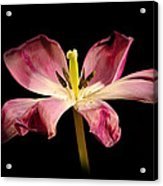 Open Lilly Acrylic Print