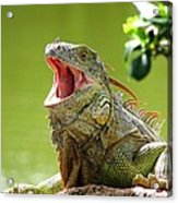 Open Mouth Iguana Acrylic Print