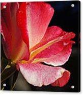Open Rose After The Rain Acrylic Print