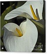Open White Calla Lily Acrylic Print