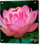 Opening Lotus Acrylic Print by Susan Isakson