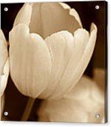 Opening Tulip Flower Sepia Monochrome Acrylic Print