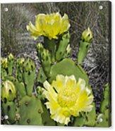 Opuntia Opuntia Sp Cactus Flowering Acrylic Print