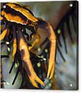 Orange And Brown Elegant Squat Lobster Acrylic Print