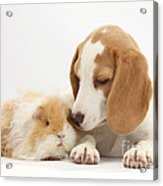 Orange-and-white Beagle Pup And Alpaca Acrylic Print