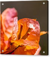 orange Bougainvillea Acrylic Print