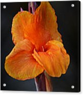 Orange Canna Lily Acrylic Print
