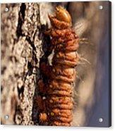 Orange Caterpillar Acrylic Print