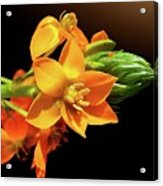 Orange Chincherinchee Acrylic Print by Gitpix