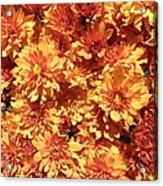 Orange Chrysanthemums Acrylic Print