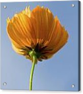 Orange Cosmos Too Acrylic Print