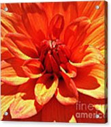 Orange Dahlia  Acrylic Print by Daniele Smith