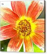 Orange Dahlia On Green Acrylic Print