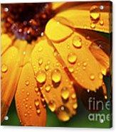 Orange Daisy And Raindrops Acrylic Print