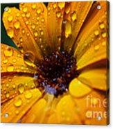 Orange Daisy In The Rain Acrylic Print