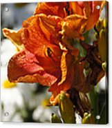 Orange Day Lilies In The Sun Acrylic Print