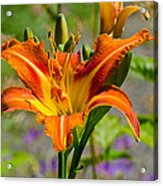 Orange Day Lily Acrylic Print