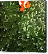 Orange Fish With Yellow Stripe Acrylic Print