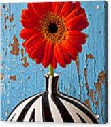 Orange Gerbera Mum Acrylic Print