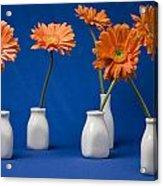 Orange Gerberas Against Blue Acrylic Print