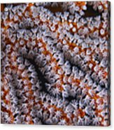 Orange Gorgonian Sea Fan With White Acrylic Print