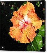 Orange Hibiscus After The Rain 1 Acrylic Print