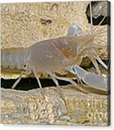 Orange Lake Cave Crayfish Acrylic Print