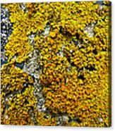 Orange Lichen - Xanthoria Parietina Acrylic Print