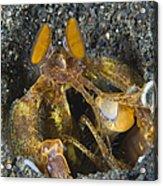 Orange Mantis Shrimp In Its Burrow Acrylic Print