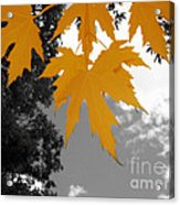 Orange Maple Leaves Acrylic Print