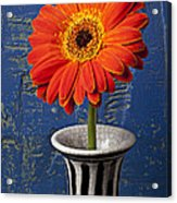 Orange Mum Acrylic Print by Garry Gay