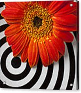 Orange Mum With Circles Acrylic Print by Garry Gay