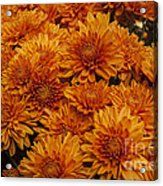 Orange Mums Acrylic Print