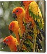 Orange Parakeets Chiang Mai Thailand Acrylic Print