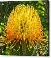 Orange Protea Flower Art Acrylic Print by Rebecca Margraf