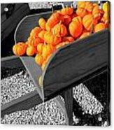 Orange Pumpkin Harvest Acrylic Print