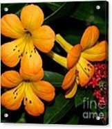 Orange Rhododendron Flowers Acrylic Print