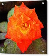 Orange Rose Blossom Acrylic Print