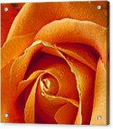 Orange Rose Close Up Acrylic Print by Garry Gay