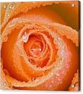 Orange Rose With Dew Acrylic Print