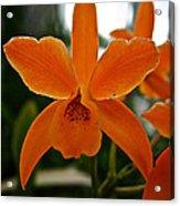 Orange Sherbert  Orchid Acrylic Print
