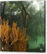Orange Sponges Grow Acrylic Print by Tim Laman