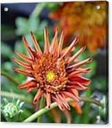 Orange Starburst Acrylic Print
