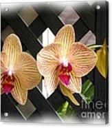 Orange Striped Orchids Acrylic Print