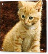 Orange Tabby Mixed Breed Kitten  Acrylic Print