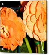 Orange Tuberous Begonias Acrylic Print