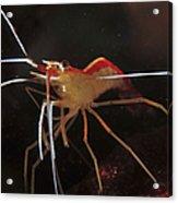 Orange White And Red Shrimp, Bali Acrylic Print