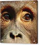Orangutan Eyes Borneo Acrylic Print