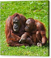 Orangutan Mother And Child Acrylic Print by Gabriela Insuratelu
